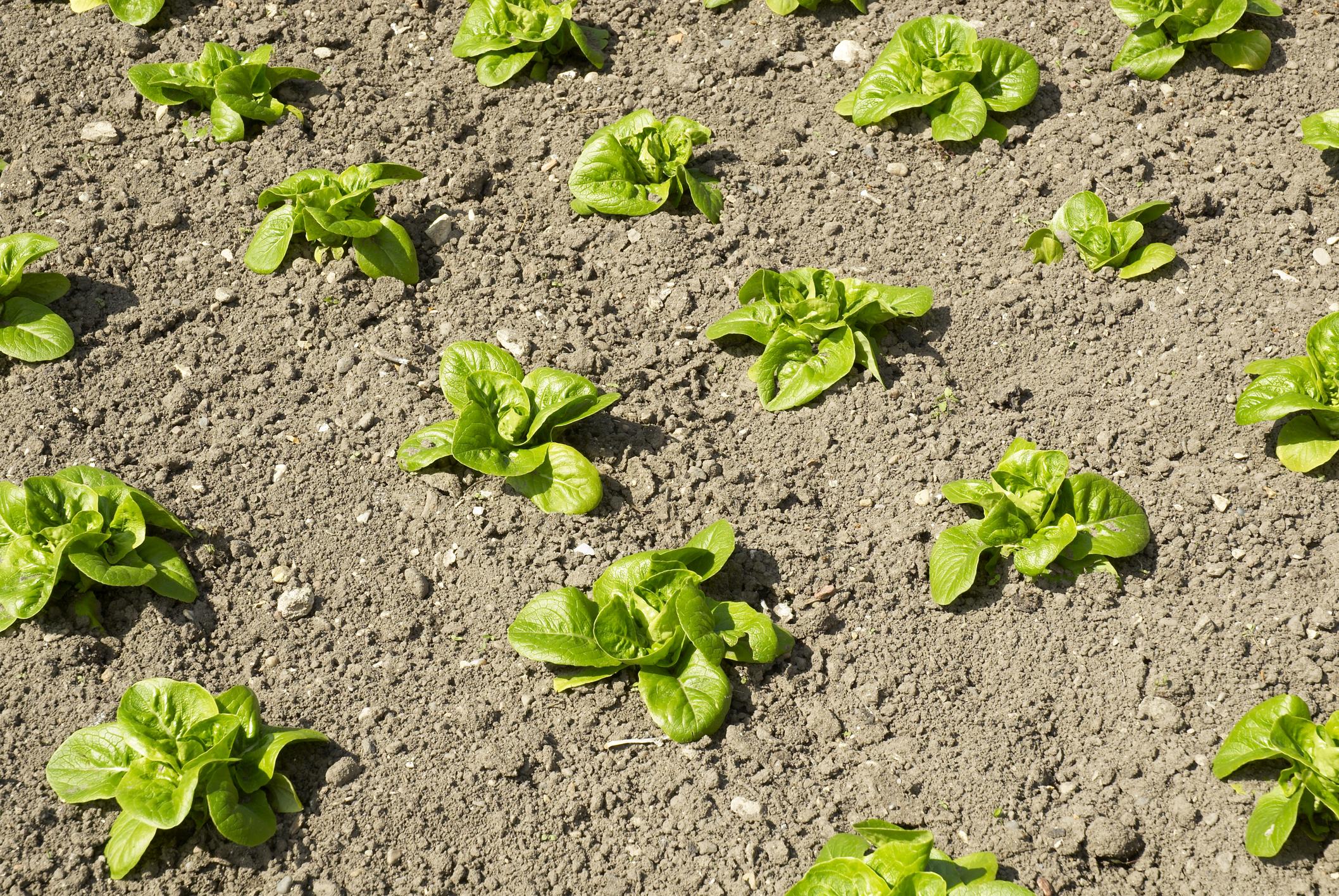© Jerome Whittingham lettuce