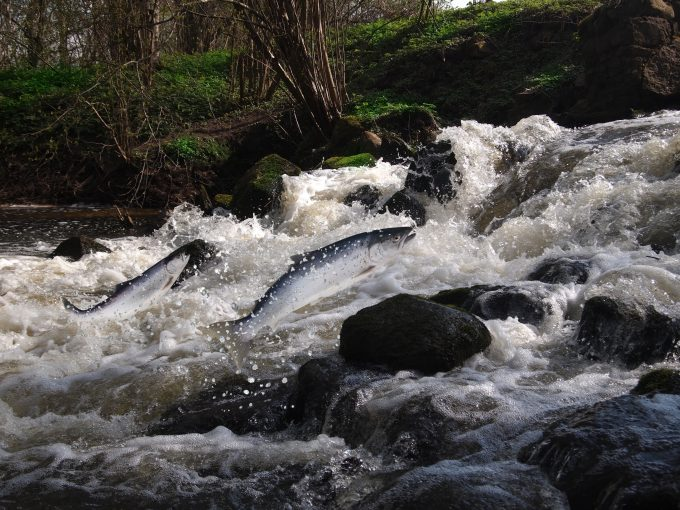 Salmon - Witold Krasowski