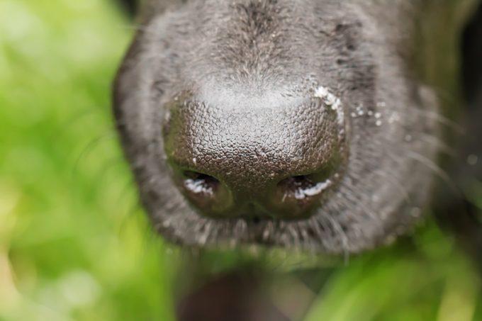 sniffer dog canine
