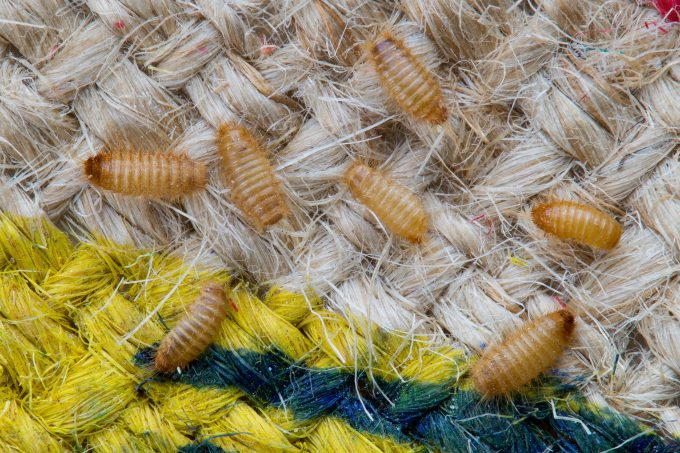 Photo 113460022 Khapra Beetle Credit Harmonia101 Dreamstime.com